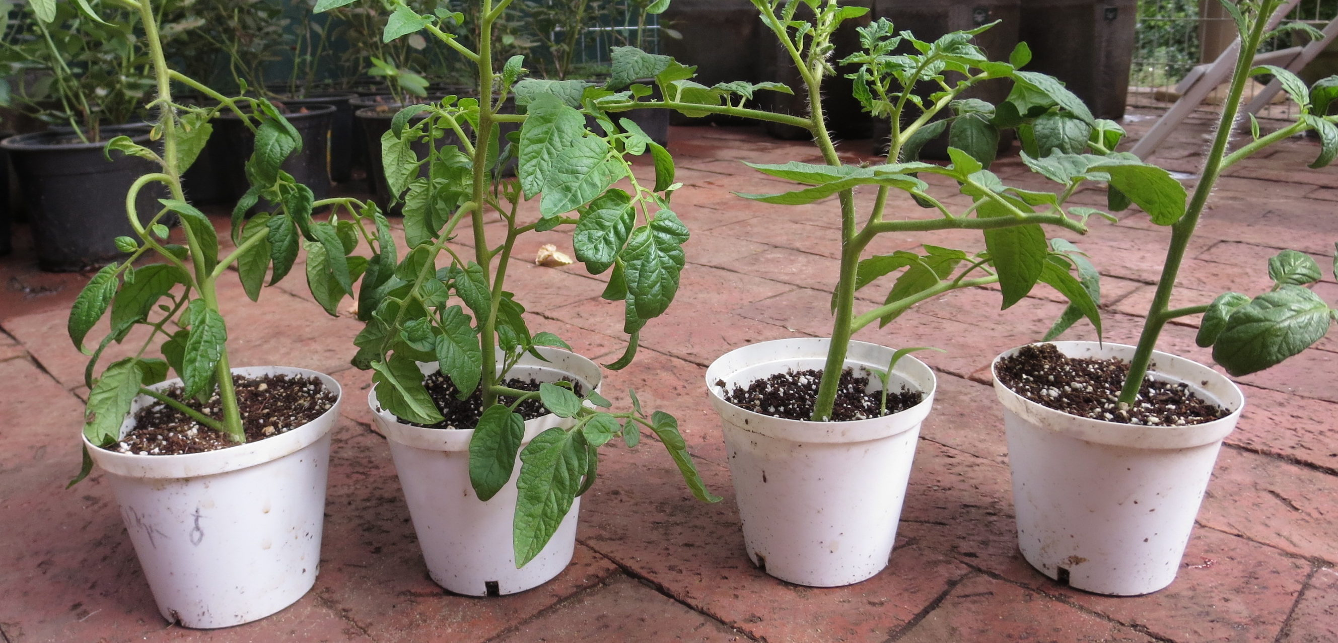 Propagate Your Own Tomatoes